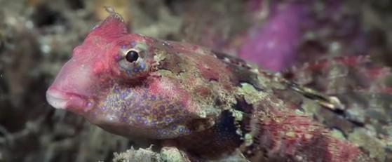 Morrison's Dragonet Fish