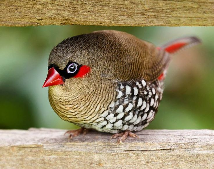 The Nature Conservancy in Australia Lovely red-eared firetail!