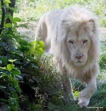 White Lion via NAT Geo