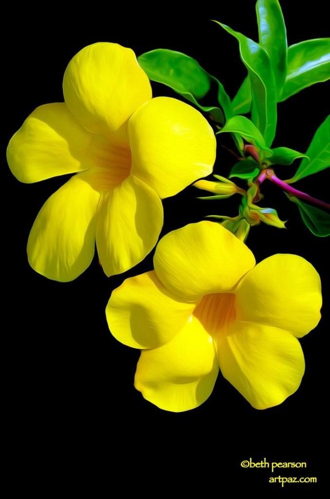 Allamanda flowers #2 by Beth Pearson on Fivehundredpx